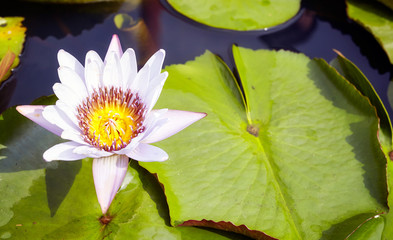 Picture of a lotus flower, selective focus.