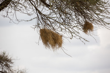 Nest eines Webervogels