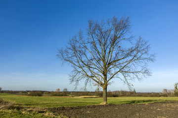 Large tree without leaves against the sky
