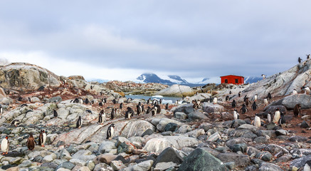 Rocky coastline overcrowded with flock of gentoo penguins and fjord with polar hut in the background, Peterman island, Antarctic peninsula