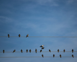 Three telephone wires with pigeons