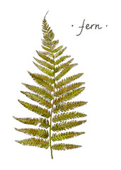 Wild plant fern hand drawn in color. Herbal vector illustration.