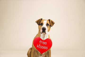 """Staffordshire terrier puppy poses in studio background with valentine's day sign on shoulders. Lovely young pitbull terrier dog with """"free kisses"""" paper heart"""