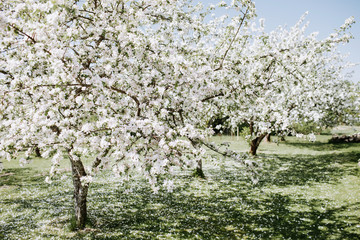 Apple blossoms at spring