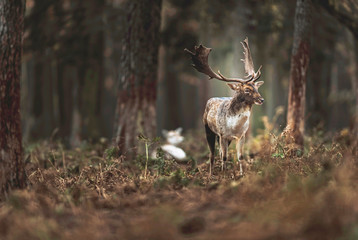 One fallow deer buck in autumn forest. North Rhine-Westphalia, Germany