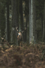 Red deer stag in autumn forest with ferns. North Rhine-Westphalia, Germany