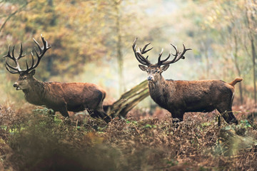 Two red deer stag in autumn forest. North Rhine-Westphalia, Germany