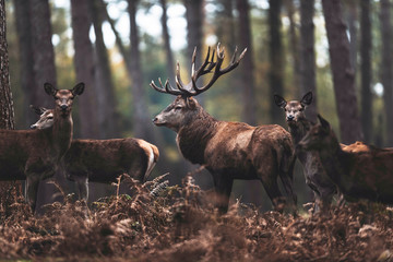 Red deer stag with hinds in autumn forest. North Rhine-Westphalia, Germany