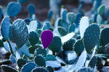 Cactus with a petal isolated in violet color on the background of other green petals.