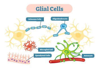 Nervous system Glial cells vector illustration schematic diagram.