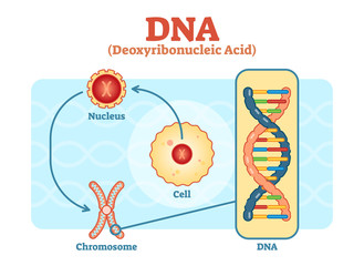Cell - Nucleus - Chromosome - DNA, Medical vector diagram