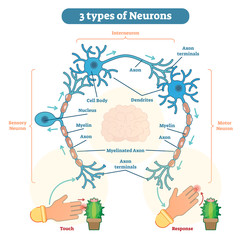 Types of Neurons - sensory, intereuron, motor
