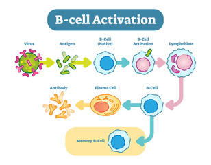 B-Cell activation diagram, vector scheme illustration.
