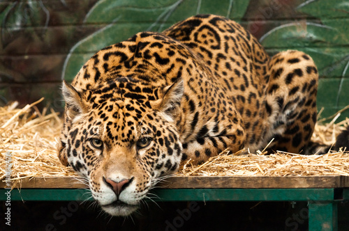 A large jaguar lying on a bed staring straight at the viewer
