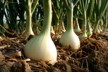 Onion in agricultural  farm.