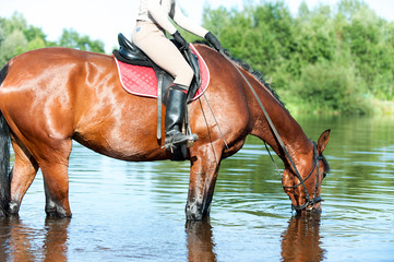 Horse drinking water in river after sport training