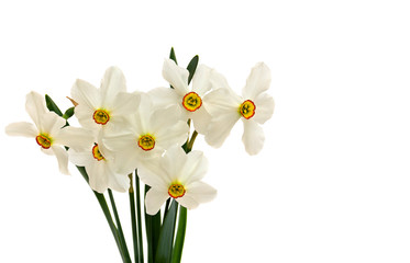 Photo sur Aluminium White wild narcissus (Narcissus poeticus) on white background with space for text