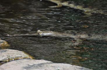 Stalking Gharial Crocodile in the River