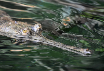 Swamp Monster Actually a Gavial Crocodile in a River