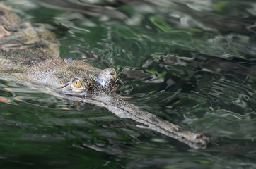 Up Close Face of a Gavial Crocodile in Water