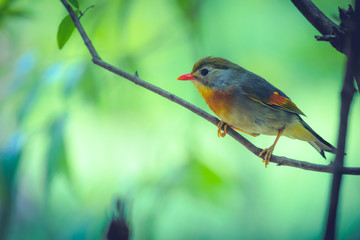 Red robin in beautiful light on a branch with green background