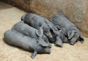 schwarzes Mallorcaschwein - cerdo negro