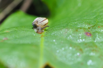 Little snail crawling on green leaf in garden in morning. Snail in the natural wetland habitats