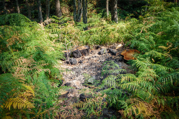 Bonfire in the wild sorrounded by ferns