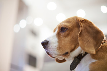 Profile portrait of beagle dog