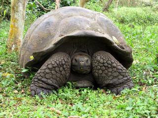 Galapagos Giant Tortoise, Chelonoidis n. porteri, reservation Chato, Santa Cruz, Glapagos, Ecuador