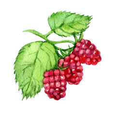 Raspberry  isolated on white background, watercolor illustration