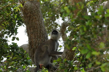 Südliche Hanuman Languren im Yala Nationalpark in Sri Lanka