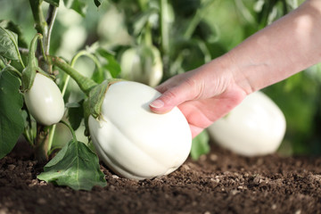 Hand picking white eggplant from the plant in vegetable garden, close up