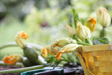 zucchini flowers in basket in vegetable garden, close up