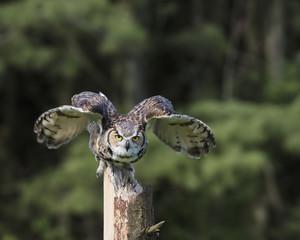 Fototapete - Great Horned Owl