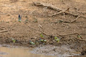 Grüne Tauben im Yala National Park in Sri Lanka