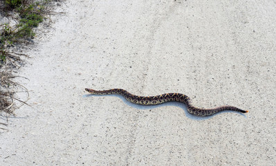 Rattlesnake crawls through country road