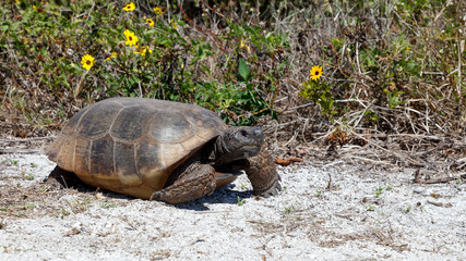 Turtle, gopher tortoise (Gopherus polyphemus) walking in the sun, Sanibel Island, Florida, USA
