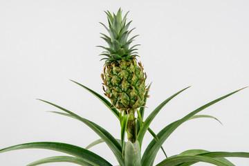 Ornamental Pineapple Plant