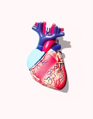 Model of human heart on white background