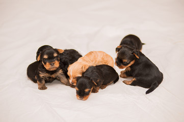 One month Yorkshire terrier and Chinese Crested Dog puppies