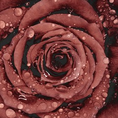 Close-up of solarized rose petals with water droplets