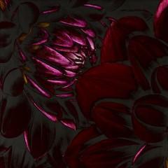 Close-up of solarized dahlia flower petals
