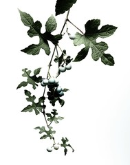 Ivy leaves with berries on vine against white background