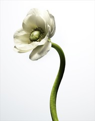 Close-up of white flower and stem against white background