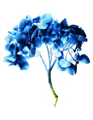 Backlit blue hydrangea flowers with stem