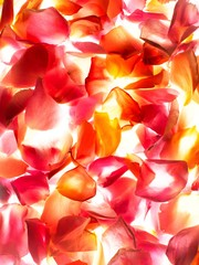 Backlit pink rose petals
