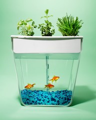 Three goldfish in aquarium tank with potted herbs growing on top