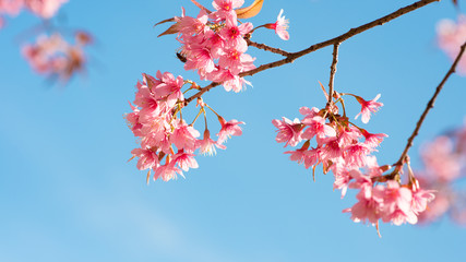 Wall Mural - Beautiful sakura flower (cherry blossom) in spring. sakura tree flower on blue sky.