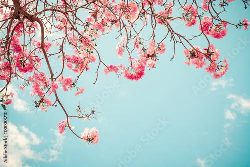 Wall mural Beautiful sakura flower (cherry blossom) in spring. sakura tree flower on blue sky. vintage color tone